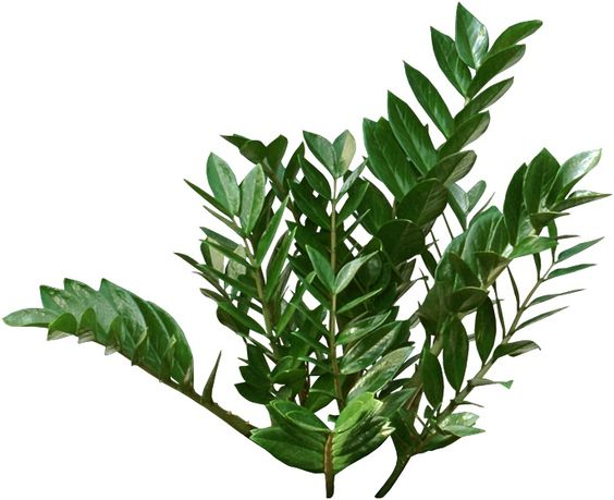 Unusual houseplants zz plants have long stems covered in hundreds of round plump shiny green - Green leafy indoor plants ...
