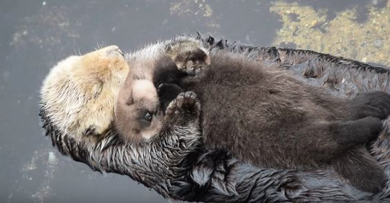 This Baby Sea Otter Sleeping On Mom Will Give You Serious Cuddle Goals. - http://www.lifebuzz.com/cuddle-mom/