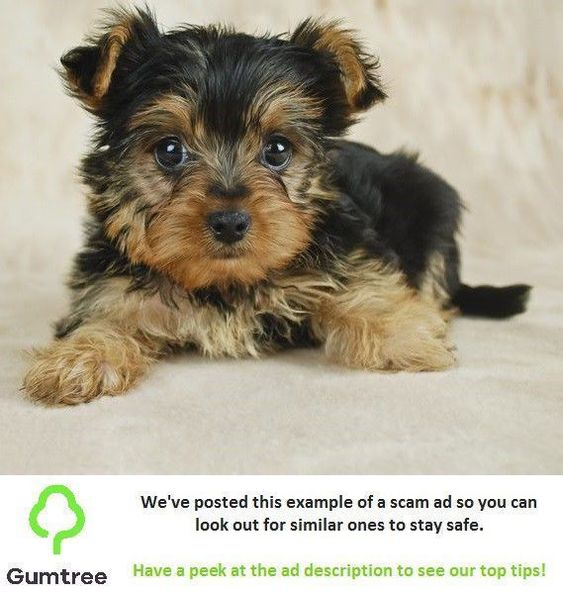 Adorable Miniature Yorkshire Terrier Puppies Read The Ad Description Before Replying Miniature Yorkshire Terrier Yorkshire Terrier Puppies Yorkshire Terrier