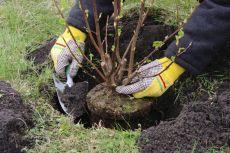 Ловим удачные моменты для пересадки дерева: мастер-класс