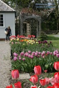 tulips in the cutting garden