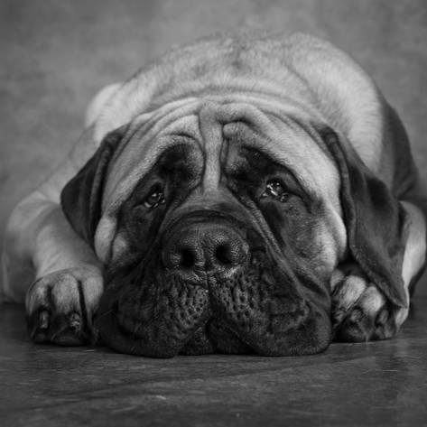 Photographic Print Portrait Of A Mastiff 16x16in British Mastiff Mastiff Puppies English Mastiff Puppies
