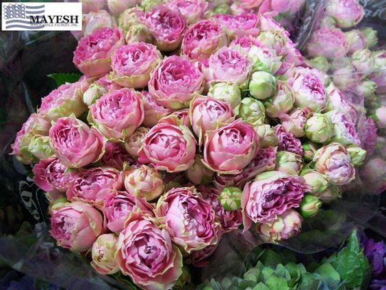 dutch spray roses