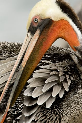 Brown Pelican Preening. Photo: Tim Laman, National Geographic Society