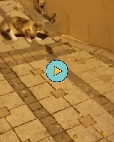 Um rato que não tem medo de gato