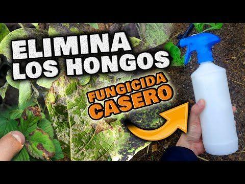 Elimina Y Controla Los Hongos De Tus Plantas Fungicida Casero Para Suculenta Insecticida Natural Para Plantas Plantar Semillas De Limón Plagas En Las Plantas