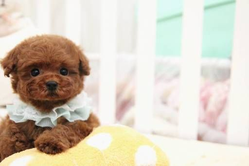 Poodle Toy Puppy For Sale In San Jose Ca Adn 59874 On