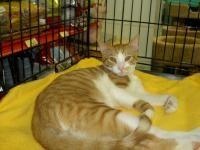 Hugo - Domestic Short Hair - orange and white