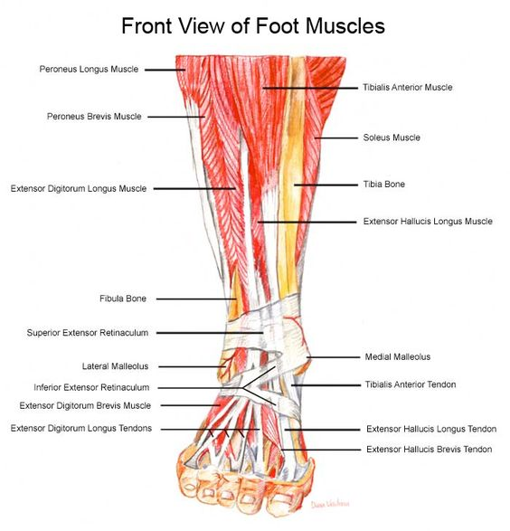 Anatomy of the foot muscles and tendons