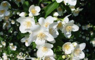 Image Of White Jasmine Flower Free Download