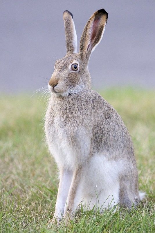 White Tailed Jackrabbit Lepus Townsendii Calgary Alberta Jack Rabbit Animal Planet Pet Rabbit