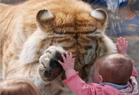 Golden Bengal Tiger bows its head and put its paw up to a young girl