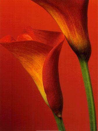 Orange Calla Lillies
