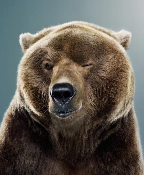 Toklat grizzly bear images - cowardice are you serious image