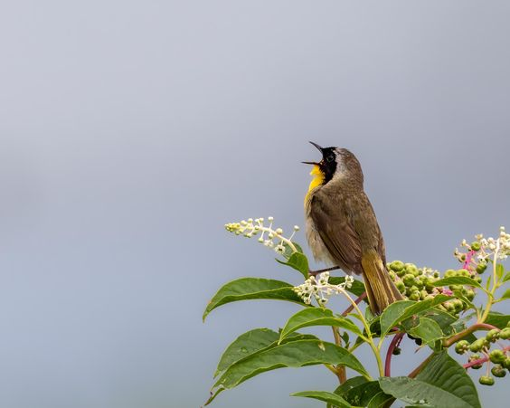 Common Yellowthroat vocalizing #birds
