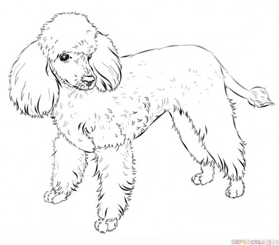 How To Draw A French Poodle Step By Step Drawing Tutorials Poodle Drawing Animal Drawings Dog Drawing