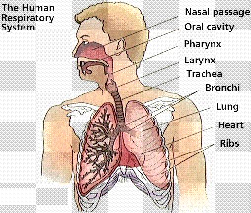 Pulmonary system older adult video