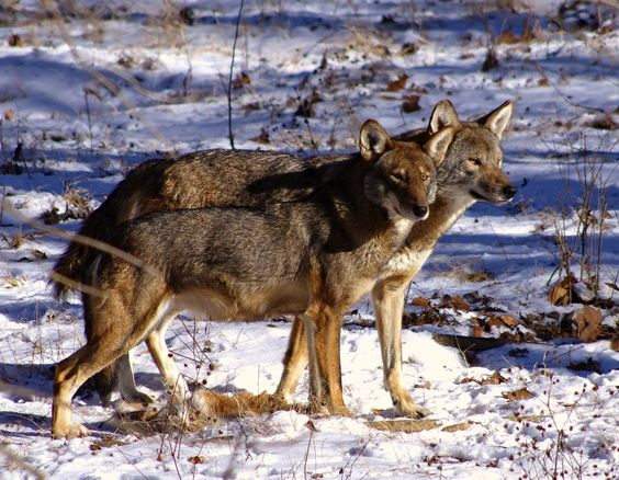 RETURN OF THE RED WOLF (Photo credit: Ashley Brown)