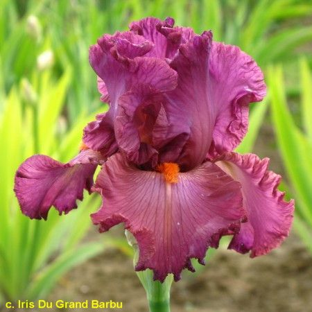 TB Iris 'Mulled Wine' (Keppel, 1982)