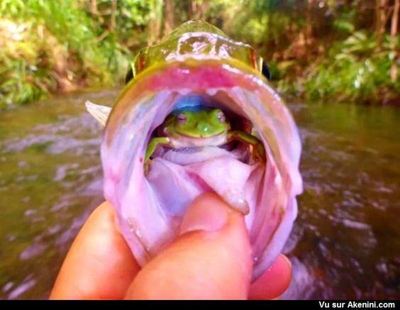 Une grenouille dans bouche d'un poisson - A Frog in His Throat