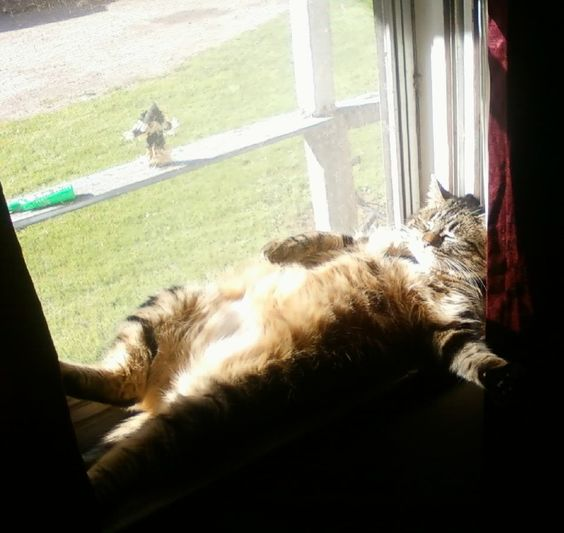 fat cat on window - Google Search