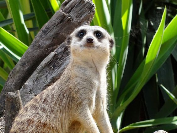 Meerkat from Vera Joao Espinha - she comments that animals in captivity seem depressed - but she has captured a gorgeous image.