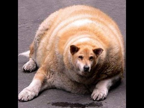 Fat Chiweenie | World's Fattest Dog | Ideas for the House ...