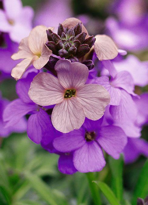 Erysimum Poem Lavender Plants Pink Purple Flowers Amazing Flowers