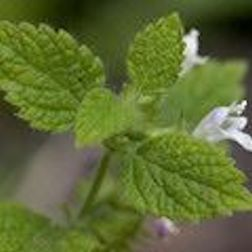 How To Grow An Herb Garden That Won't Die: Lemon Balm: Being in the mint family, lemon balm is a great herb for those who seem to have no luck gardening with herbs. The bright, lemony flavor is fun to brush up against and picking a leaf to nibble becomes a right of passage for any little gardeners that are trying their hand at growing.
