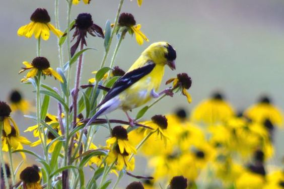 Attract Birds With Seed-Bearing Flowers: Goldfinches are attracted to many seed-bearing flowers.