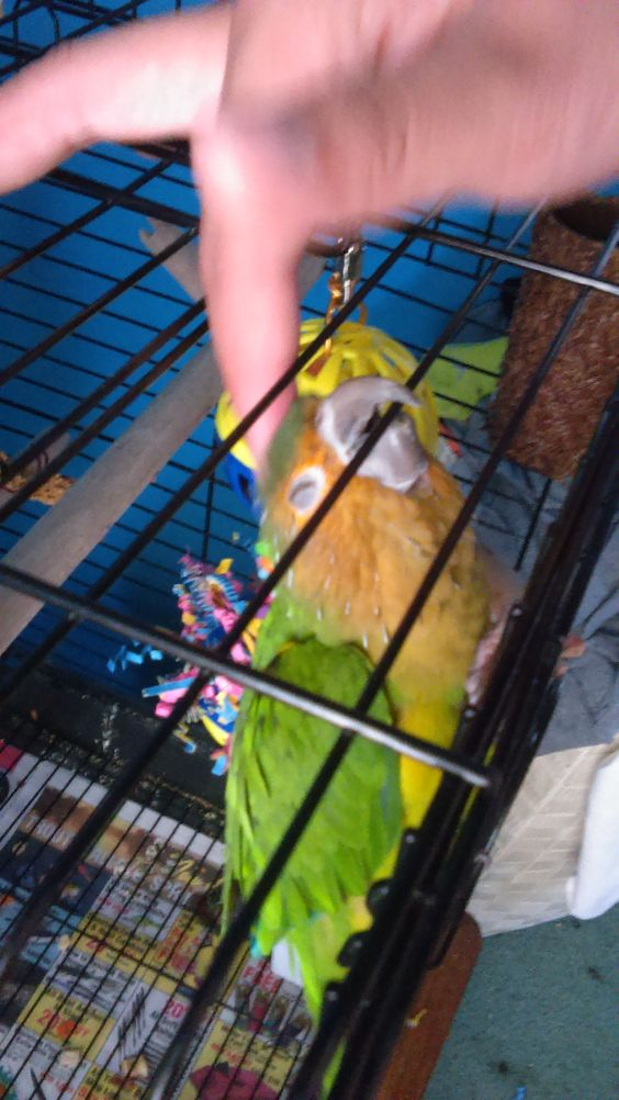 My conure Charlie getting his head scratched