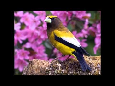 Os mais belos pássaros e seus cantos espetaculares - YouTube