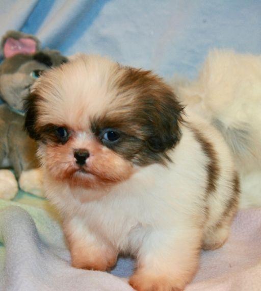Bejay Shih Tzu Puppy 626200 Puppyspot In 2020 Shih Tzu Puppy