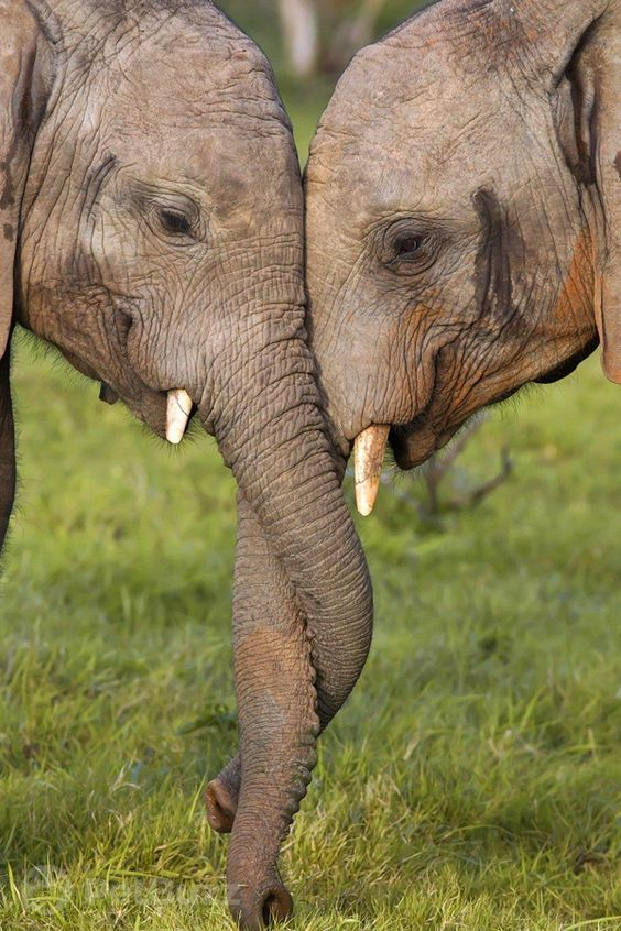 These elephants were separated for decades. When they are reunited, TEARS #elephants #elephantvideos #reunions #elephant #wildlife