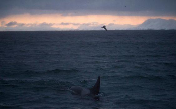 @Sea Safari Andenes