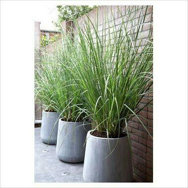 Citroengras in pot - houdt de muggen weg | Patio plants, Privacy screen  plants, Screen plants