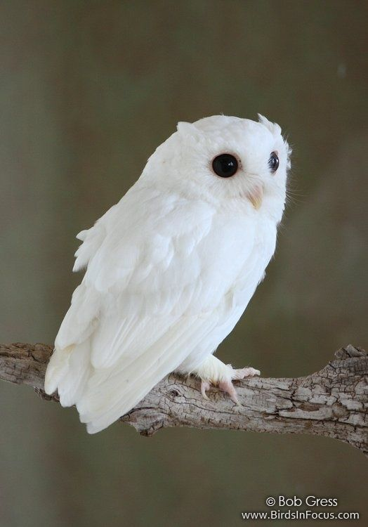 Albino Eastern Screech Owl.