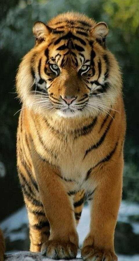 Tiger Power Animals Beautiful Big Cats Beautiful Cats