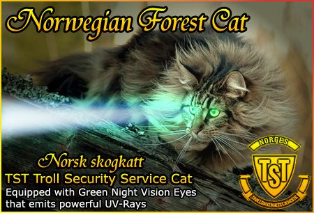 Behold ! the TST Troll Security Service Cat, what every Trolljegeren Troll Hunter needs while patrolling the territories.  Norsk skogkatt Norwegian Forest Cat is equipped with Green Night Vision Eyes that emits powerful UV-Rays.