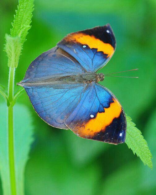 mariposas parecen vestidas con trajes de gala