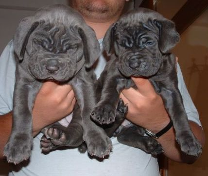 Neapolitan mastiff puppies (you know, like Fang, from Harry Potter!!!)