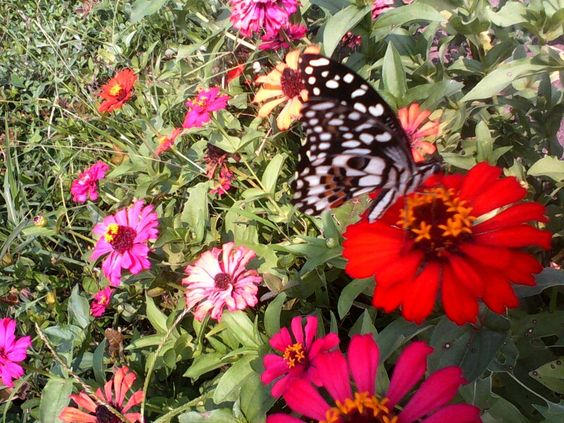 It was a hot afternoon when I saw a butterfly flying and it rests on a flower.