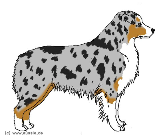 australian shepherd drawing - Google Search | All About Aussies ...