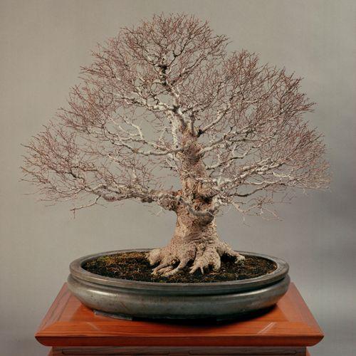 「ケヤキ」均窯楕円鉢 #bonsai #盆栽