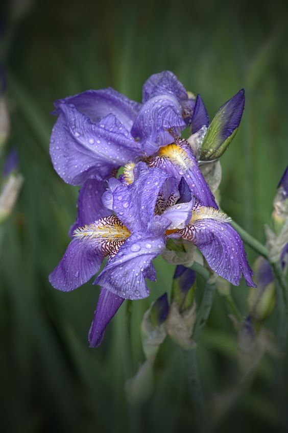 Purple Iris by Duane Klipping on 500px