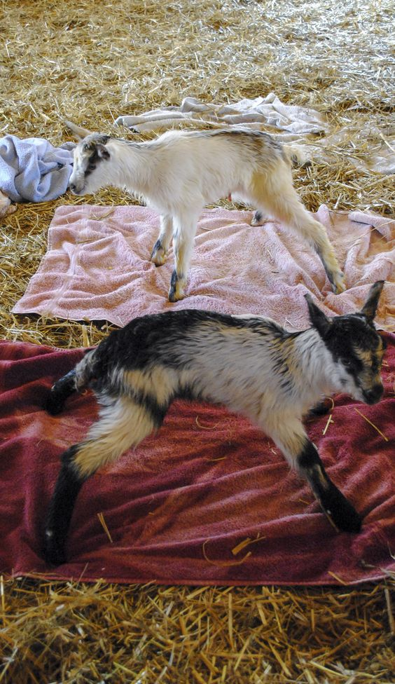 Newborn Twin baby goats