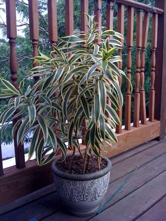 La Dracaena reflexa Song of India est une variété panachée, très populaire, de Dracaena de Malaisie. Les feuilles ont généralement des zones centrales vertes, entourées de jaune des deux côtés. Plus feuillue que la plupart des Dracaena, elle a tendance à former un arbuste buissonnant et ligneux d'1,20 m. Gardez cette plante dans une pièce lumineuse hors du chemin de toute lumière directe du soleil pour qu'elle prospère. Son habitat naturel est le sol de la jungle, où toute...: