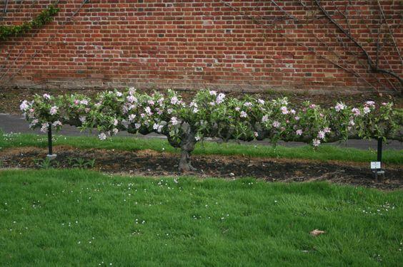 From gardentenders.com. A horizontal cordon. Apple tree ...