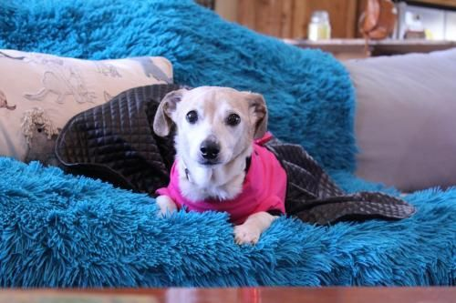 Dog For Adoption Athena A Dachshund Feist Mix In Gulfport Ms