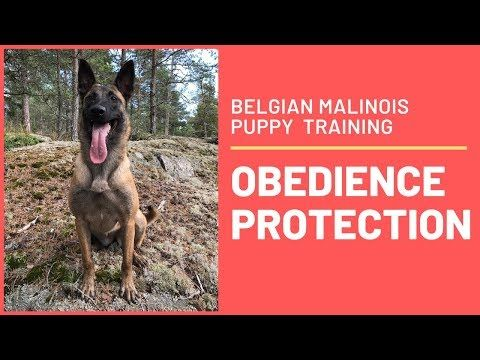 How To Train A Puppy Obedience Without Force With Emma Willblad Youtube In 2020 Malinois Puppies Belgian Malinois Puppies Puppy Training